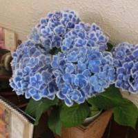 華の在る喫茶店で♪紫陽花♪咲くぅぅ。。(^^)v
