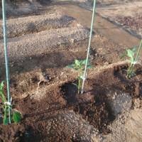 昨日買って来た野菜苗を植え付ける。