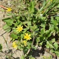 田んぼの中にもコオニタビラコの花