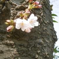 ソメイヨシノ開花
