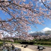 1週間ぶりに富士山へ。。。サクラ満開🌸
