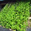 ゴーヤのグリーンカーテン 白にがくんの収穫