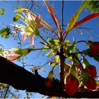 ヒマラヤ桜 寒さに向かって咲く    16・12月8日