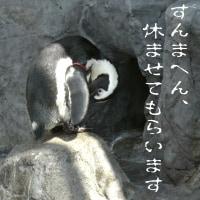 お立ち台のケープペンギン
