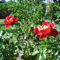 赤と黄色が 素敵な バラ「希望」