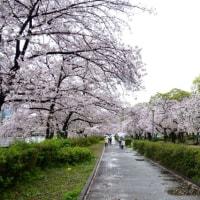 【桜巡りの旅】 雨の中でも歩きたい桜並木 天満橋付近 その1