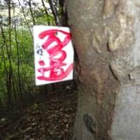 篠山のアケボノツツジ (4月22日)