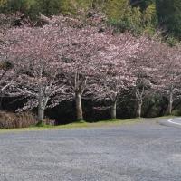 桜やっと開花!