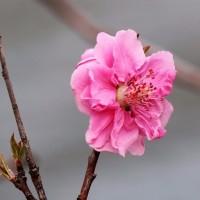 咲き出した花桃