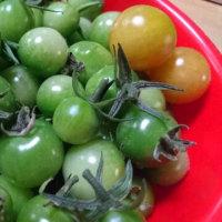 青いミニトマトでピクルス作ってみた