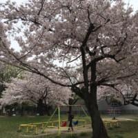 近くの桜も見ごろです(よしだ麺)