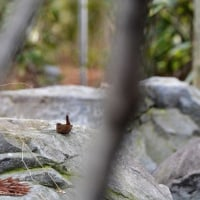 越冬中の小さい鳥と遊ぶ (大阪市内の大公園で)