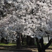 ★松本市城山公園のソメイヨシノ 2017