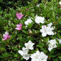 猫額庭の花