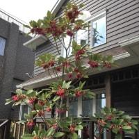 西洋石楠花(シャクナゲ)・・ロドレイア♪♪・・