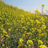 今年のサクラソウ自生地の花の標識は写真入りです
