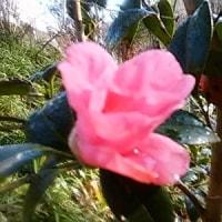 侘び助、ひっそりと、咲いています。・・