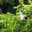 水色のキレイな鳥、でも声は…(^_-)-☆