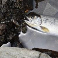 マベ貝・アワビ貝メキシコアワビ補修のハスルアータイプが良く釣れました