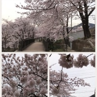 桜、桜で勝沼ゴルフコース
