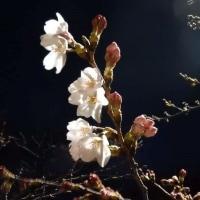 11時過ぎの夜桜ジョギング、代々木公園