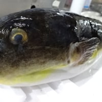 かねしげの海鮮丼は「ななつぼし」♪日曜のランチは、ド~ン!と「塩水生ウニ」をトッピング~!!発寒かねしげ鮮魚店の魚屋シゲちゃん。