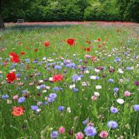 わんぱく公園の矢車菊