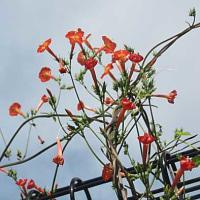 縷紅草(るこうそう)という花