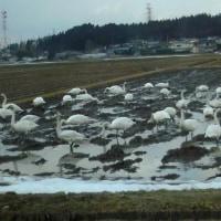 白鳥の水田