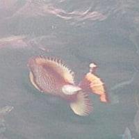 タオ島でダイビング!