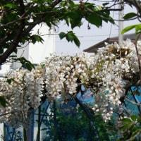 藤の花が見頃です。
