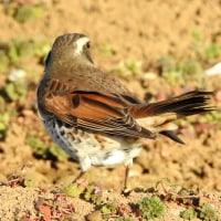 大堀川周辺の野鳥_ツグミ(鶫)