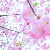 「さくらより愛を込めて」 いわき 新川の桜並木にて撮影! 八重桜