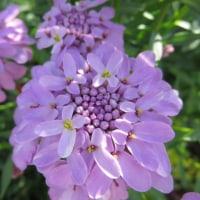 イベリス  キャンディタフト〜 6月のお花 その1
