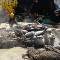 太平洋魚の摂食警告:水銀研究