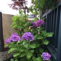 紫陽花の眺め
