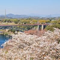 さくら~春を迎えた西海橋