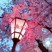 きょうの夜桜。
