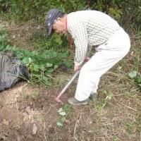 サツマイモの試し掘り、今年初の焼き芋に