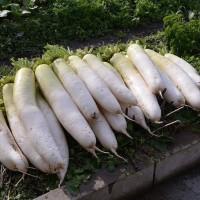 今年の菜園も、これが最後の収穫ですネ