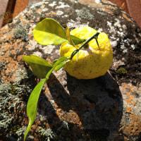 お山の柚子