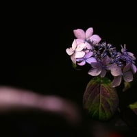紫陽花シリーズ(Ⅵ)
