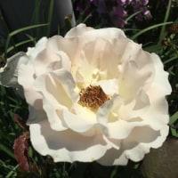 庭に咲いている薔薇