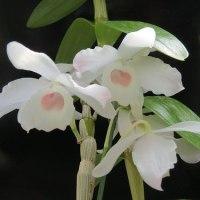 Den.nobile,C.lueddemanniana 2個体