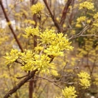 春黄金花(はるこがねばな)とテラスとパラソル
