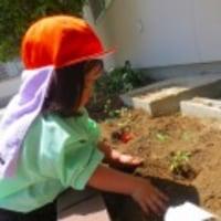 ひまわりの苗を植えたよ!