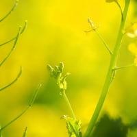 俣野別邸庭園の菜の花