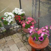 雨ですが 奇麗に咲くペチュニア
