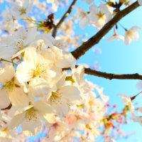 2017年4月15日 東金市砂古瀬の桜