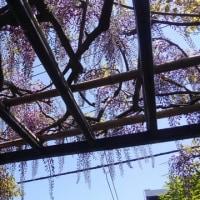 青い空の下で、藤棚の藤房が長くなっていました。満開が楽しみです。